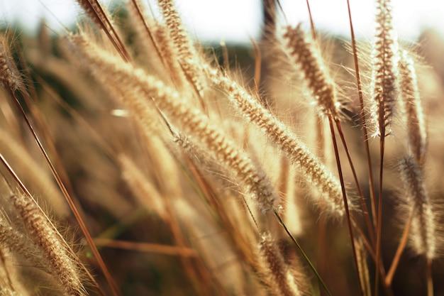 Mooi van grasbloem met zonsondergang voor aardachtergrond, zachte en vage nadruk