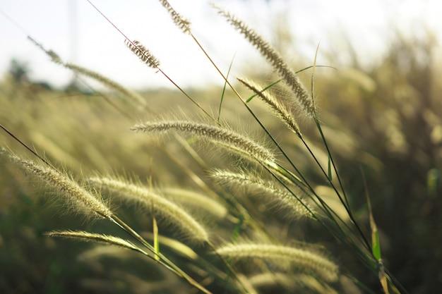 Mooi van grasbloem met zonsondergang voor aardachtergrond