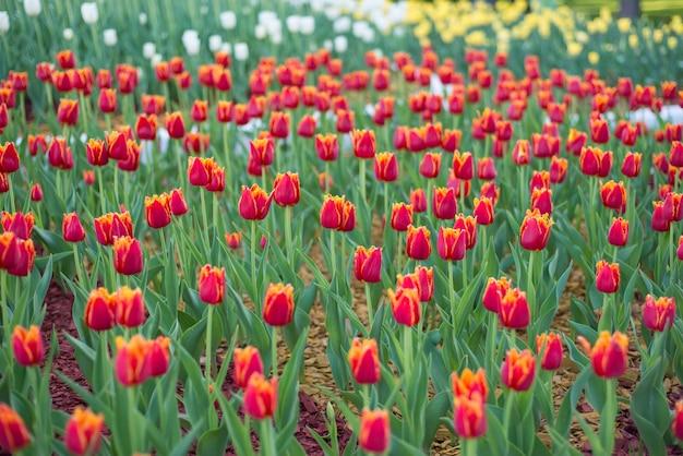 Mooi veld met rode tulpen