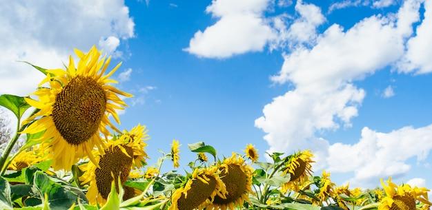 Mooi veld met zonnebloemen tegen de lucht en de wolken. vele gele bloemen op een blauwe achtergrond met ruimte voor tekst.