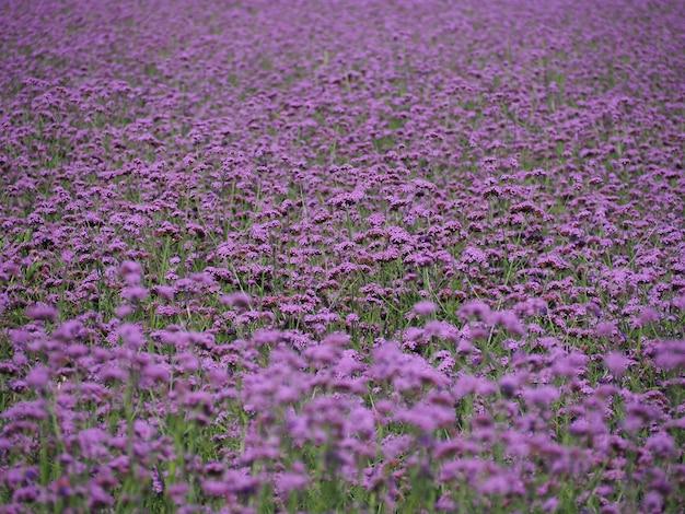 Mooi verbena-veld