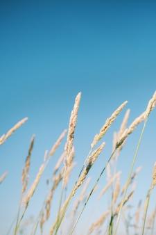 Mooi verticaal schot van lang gras dat in de wind op een helderblauwe achtergrond zwaait