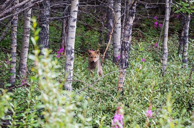 Mooi wild dier in de foresr. poolvos in alaska.