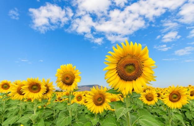 Mooi zonnebloemgebied op de zomer met blauwe hemel