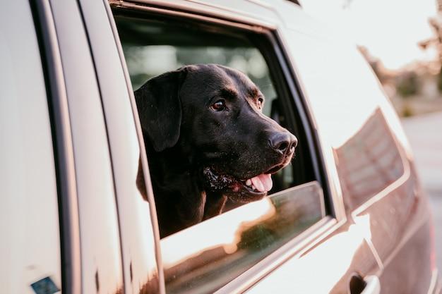 Mooi zwart labrador in een auto klaar om te reizen. stad achtergrond. kijken bij het raam bij zonsondergang. reizen concept