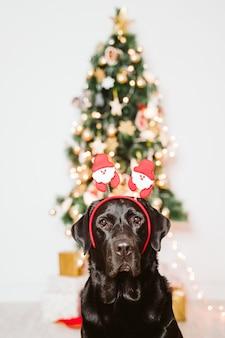 Mooi zwart labrador thuis door de kerstboom. hond draagt een grappige kerstman diadeem