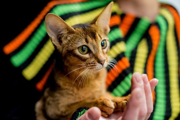 Mooie abyssinian-kattenzitting op handen.