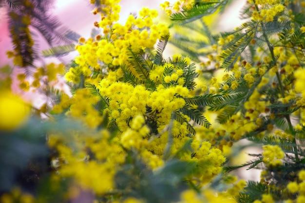 Mooie achtergrond van mimosa-bloesems