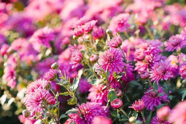 Mooie achtergrond van roze chrysantenbloemen in de tuin