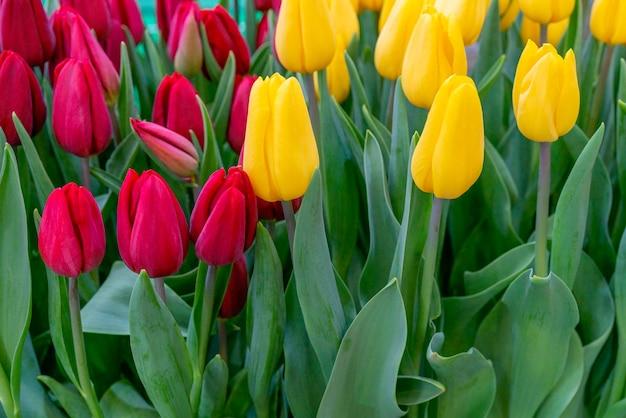 Mooie achtergrond van tulpen. floral feestelijke natuurlijke achtergrond.