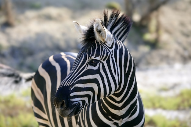 Mooie afrikaanse zebra buiten