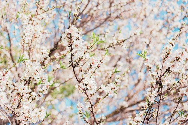 Mooie amandelbloemen in de boom met blauwe hemel erachter in de lente