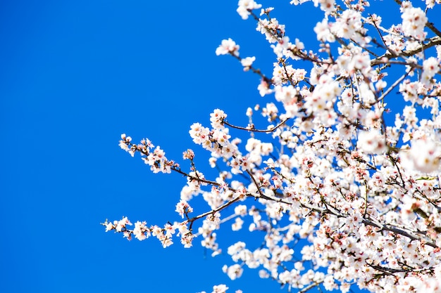 Mooie amandelbloesems, blauwe hemel