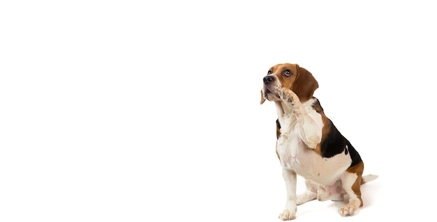 Mooie amerikaanse beagle hond zittend op een wit opzij kijken
