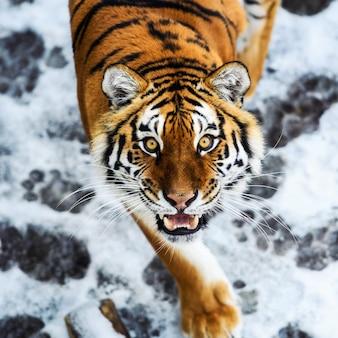 Mooie amoer-tijger op sneeuw. tijger in winter woud