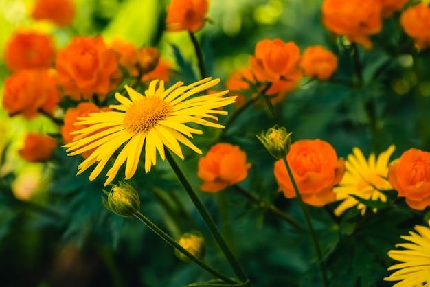 Mooie arnica dichte groeit op achtergrond van warme globeflowers met exemplaarruimte.