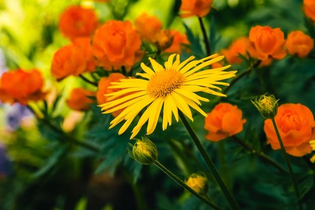 Mooie arnica dichte groeit op achtergrond van warme globeflowers met exemplaarruimte