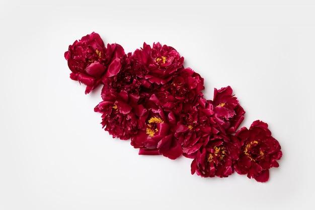 Mooie aromatische verse rode pioenrozen op wit