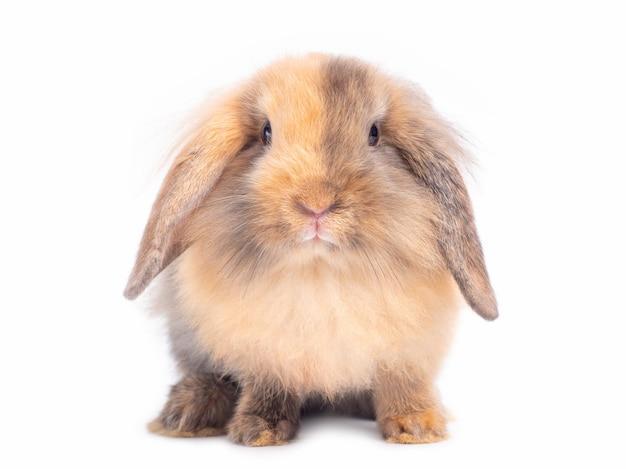 Mooie baby holland hangoor konijn geïsoleerd op witte muur twee toon kleuren konijn.