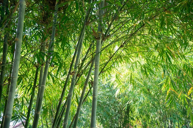 Mooie bamboe blad en boom afbeelding voor azië thema levensstijl achtergrond.