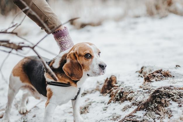 Mooie beagle-hond die overdag in het winterbos loopt