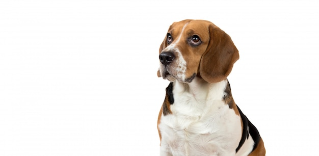 Mooie beagle-hond op witte achtergrond. poseren in de studio