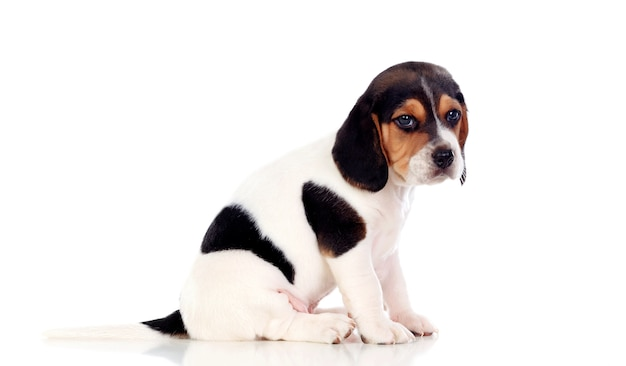 Mooie beagle puppi bruin en zwart