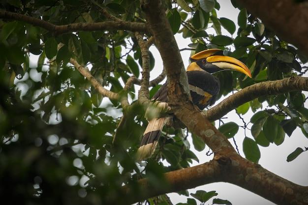 Mooie bedreigde grote neushoornvogel op een boom in kaziranga india