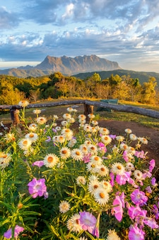 Mooie berg doi luang chiang dao in de voorgrond bloeiende wildflowers bij zonsopgang