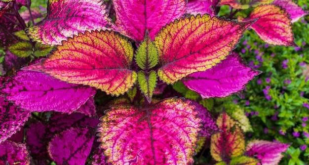 Mooie bladbloem van rode siernetelinstallatie, aard in de zomer