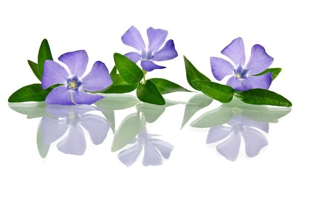 Mooie blauwe bloem geïsoleerd op wit