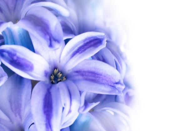 Mooie blauwe bloemen hyacinten geïsoleerd op wit. lente macro achtergrond