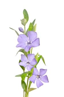 Mooie blauwe bloemen maagdenpalm geïsoleerd op wit
