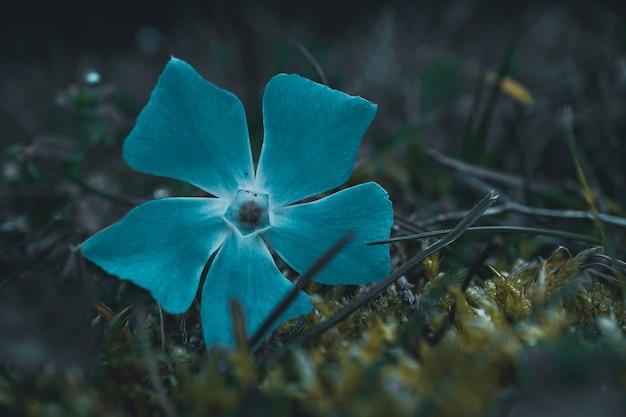 Mooie blauwe bloemplant in het lenteseizoen