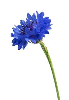 Mooie blauwe geïsoleerde korenbloem