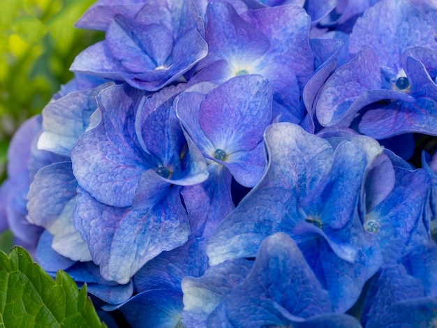 Mooie blauwe hortensia dicht omhoog artistic