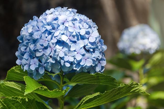Mooie blauwe hortensia of hortensia bloeien dicht omhoog, bloeien in bloei in de lente.