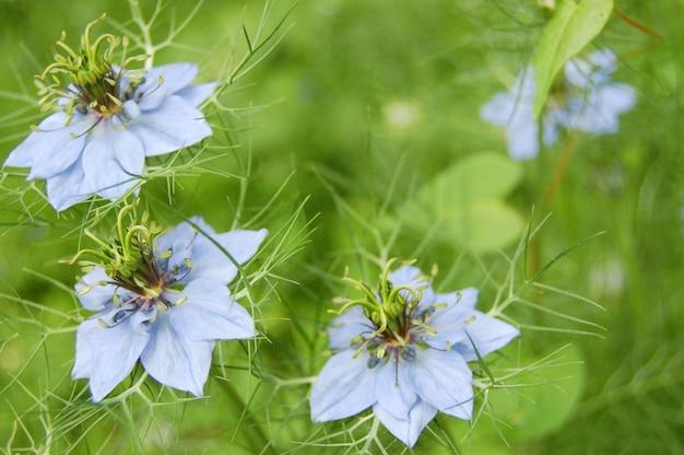 Mooie blauwe klokbloemen