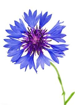 Mooie blauwe korenbloem die op witte muur wordt geïsoleerd