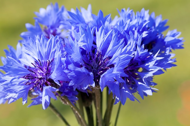 Mooie blauwe korenbloemen in het veld in de zomer, een verzameld boeket van blauwe wilde bloemen korenbloem