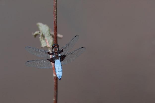 Mooie blauwe libel in de natuurhabitat. macroschoten, het tonen van ogenlibel en vleugelsdetail.
