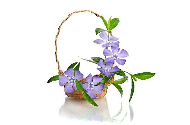 Mooie blauwe maagdenpalm in de mand op wit wordt geïsoleerd Premium Foto
