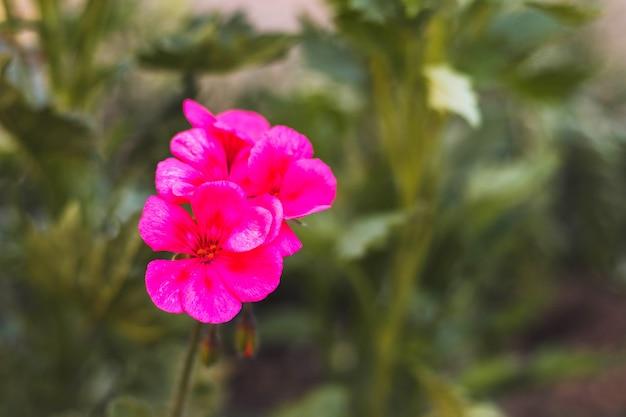 Mooie bloeiende bloem. zomertuin. bloeiende plant met roze bloemblaadjes.