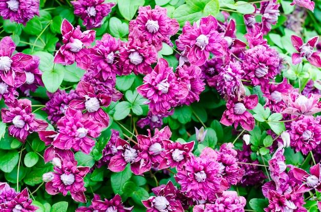 Mooie bloeiende clematissenstruik met paarse bloemen en groene bladeren.