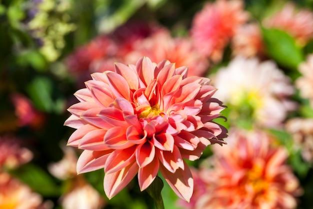 Mooie bloeiende dahlia van rode en roze bloemen in het bloembed
