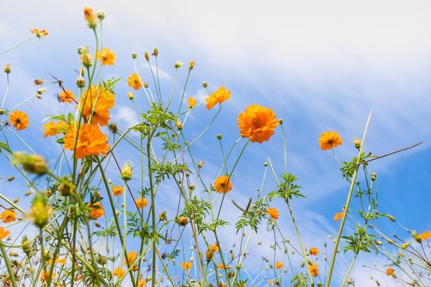 Mooie bloeiende gele kosmosbloem met wolken en blauwe hemel.