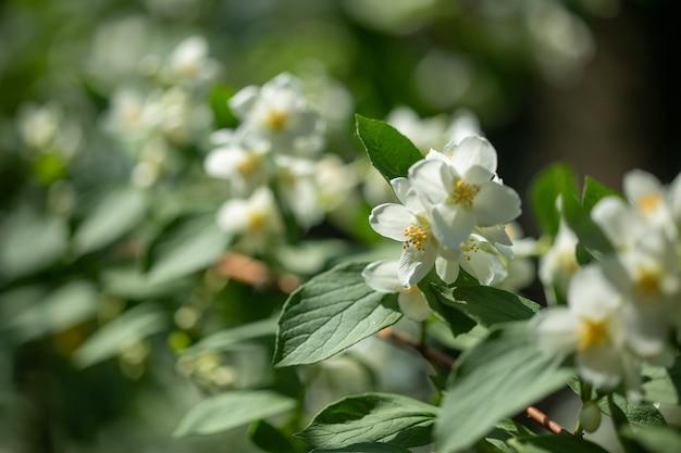 Mooie bloeiende jasmijn tak met witte bloemen bij zonlicht in zonnige zomerdag.