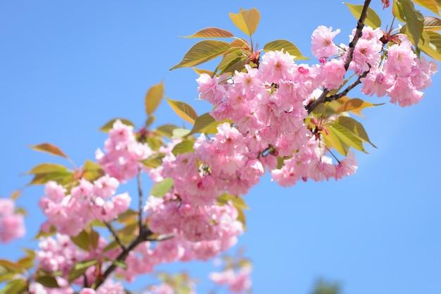 Mooie bloeiende kersentak tegen duidelijke blauwe hemel in de lente