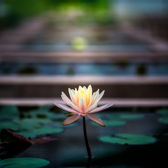 Mooie bloeiende lotus of waterlily flower in pond
