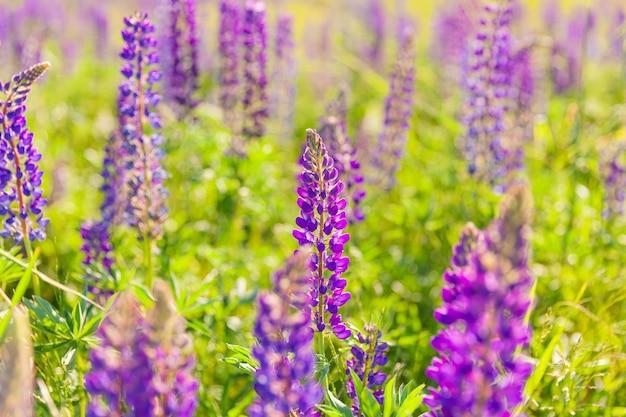 Mooie bloeiende lupine bloemen in de lente veld van lupine planten scene